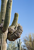 Saguaro Cactus Arm has had a rough time.
