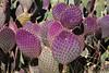 AZ-Phoenix-Desert Botanical Garden 2013-03-04-118