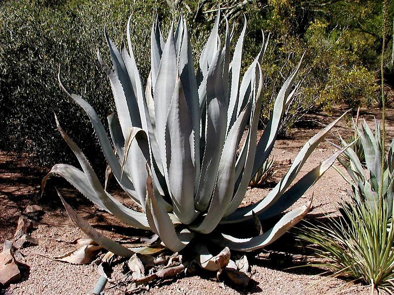 AZ-Phoenix-Desert Botanical Garden-2004-03-27-0029