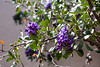 Desert Botanical Garden - (DBG) -Texas Mountain Laurel