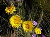 AZ-Phoenix-Desert Botanical Garden-2004-03-27-0025-Desert Marigold