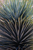 Agave Family, Blue Yucca
