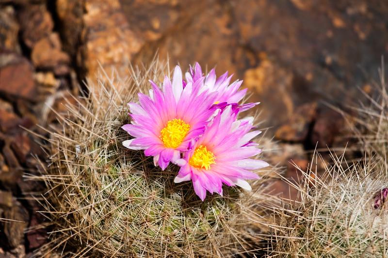 Desert Botanical Garden - (DBG), Cactus