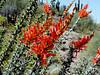 AZ-Phoenix-Desert Botanical Garden-2004-03-27-0005-Ocotillo