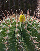 Cactus Family, Fishhook Barrel