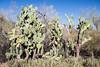AZ-Phoenix-Desert Botanical Garden 2013-03-04-172