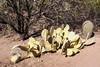 AZ-Phoenix-Desert Botanical Garden 2013-03-04-171