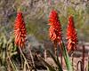 AZ-Phoenix-Desert Botanical Garden 2013-03-04-132