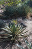 Agave Family, Varigated Engard