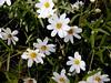 AZ-Phoenix-Desert Botanical Garden-2004-03-27-0023-Daisy