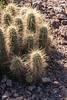 Cactus Family, Englemann's Hedgehog