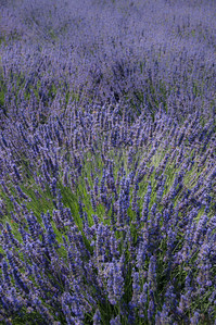 Lavender Fields, Oregon