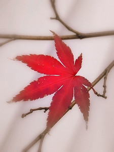 Japanese Maple Portrait