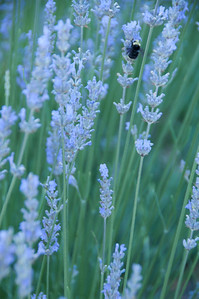 Lavender & Bee, Oregon
