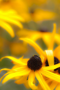 Black Eyed Susans, Eastern Towships, Quebec