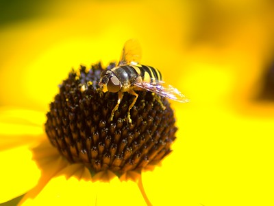 Black Eyed Susan and Hover Fly