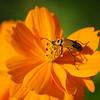 Orange Cosmos and Pennsylvania Leatherwing Beetle