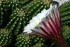 Cactus-Peruvian Torch-2006-04-02-0002