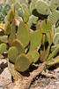 Cactus, Bunny Ears-Cinnamon-2010-03-21-0001