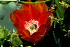 Cactus-Prickly Pear-2007-04-15-0004