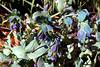 Berberis-Atropurpurea-2005-06-28-0001