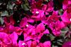 Bougainvillea-Temple Fire Bush-2005-05-01-0001
