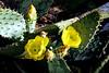 Cactus-Prickly Pear-Cow Tougue-2006-05-14-0001