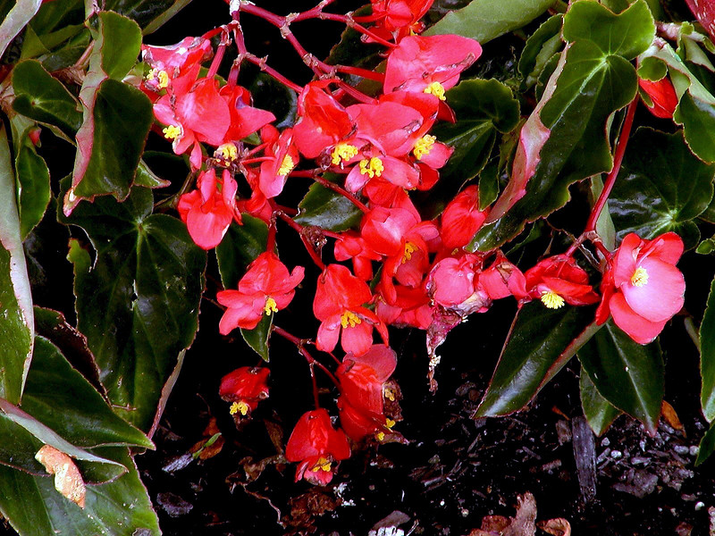 Begonia-2003-08-01-0001
