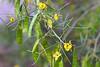 Caesalpinia-Ferrea-2006-04-09-0001