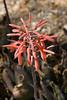Cactus, Aloe-Partridge Breast-2011-04-17-0001