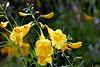 Arizona Yellow Bells-2006-06-25-0001