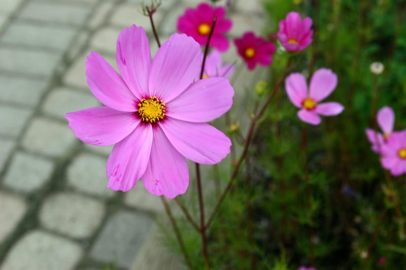 Cosmos Binpinnatus-Mexican Aster-2006-09-14-0001