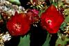 Cactus-Prickly Pear-Chenille-2007-04-15-0003