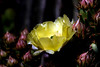 Cactus-Prickly Pear-Desert-2007-04-01-0001