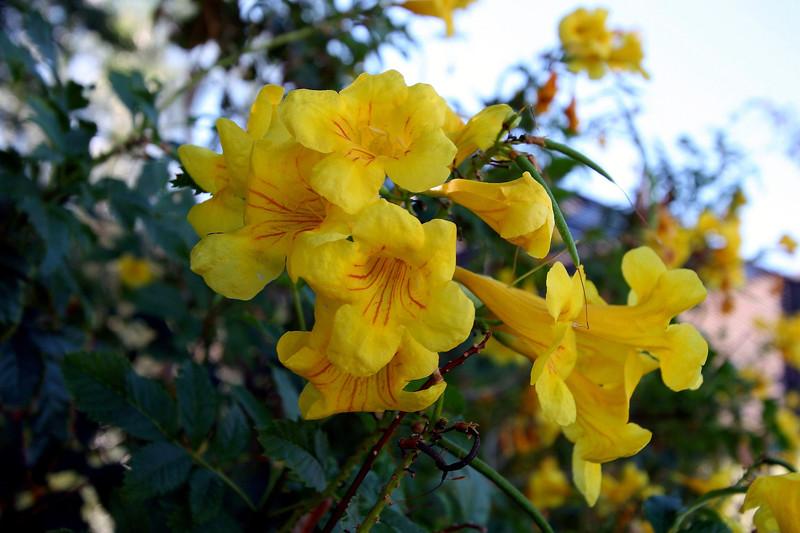 Arizona Yellow Bells-2005-11-13-0001