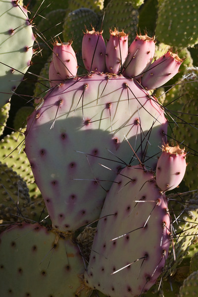 Cactus, Prickly Pear-Black Spined-2008-06-22-0001