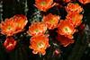 Cactus-Devil Cholla-2006-04-02-0002