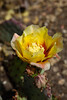 Cactus, Prickly Pear-Desert-2010-04-18-0001