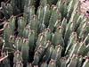 Cactus-Euphorbia-2005-05-01-0001