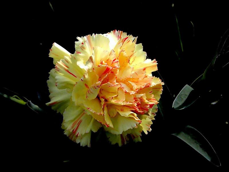 Carnation-2003-12-07-0002
