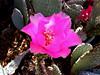 Cactus-Prickley Pear-Beavertail-2003-12-07-0002
