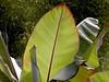 Canna Leaves-2003-08-01-0001