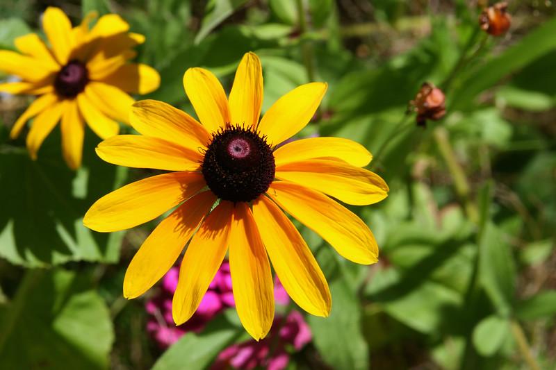 Black Eyed Susan-2007-09-01-0002
