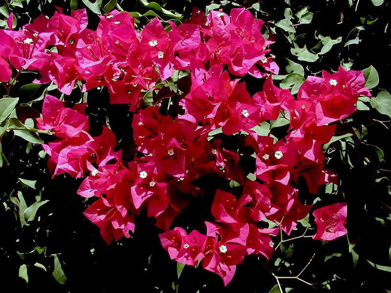 Bougainvillea-Mrs. Butt-2003-12-07-0002