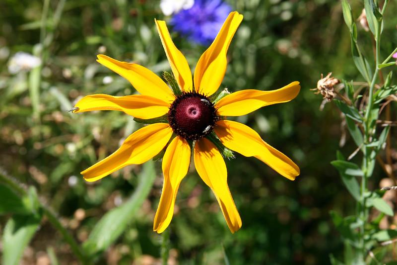 Black Eyed Susan-2007-09-01-0001