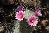 Cactus-Pincushion-2007-07-31-0001