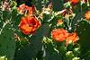 Cactus-Prickly Pear-2007-04-15-0009