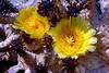 Cactus-Prickly Pear-2006-06-25-0001