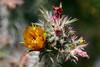 Cactus-Cholla-Thornber-2006-04-09-0001