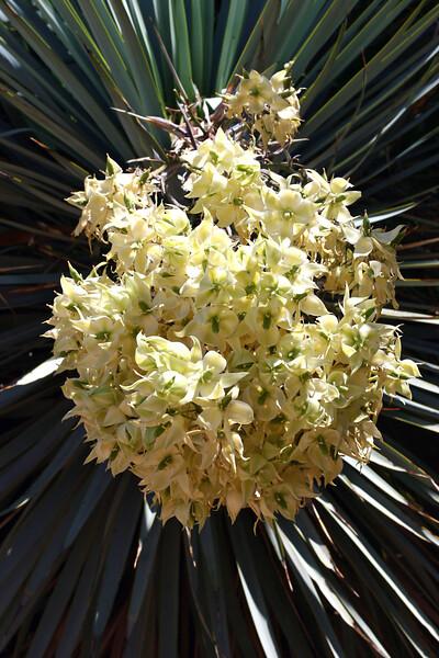 Cactus-Yucca-Blue-2007-04-15-0002